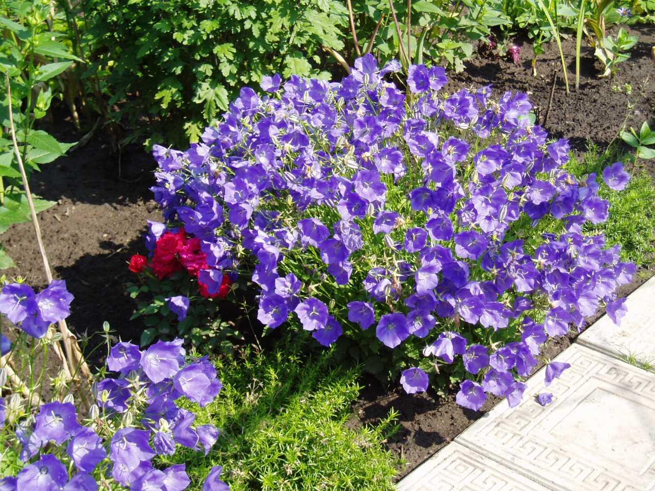 Многолетние цветы для дачи фото с названиями